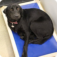 Adopt A Pet :: Allie - Pittsburg, KS