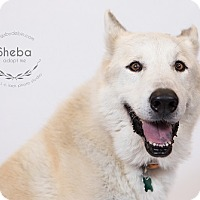 Adopt A Pet :: Sheba - Kansas City, MO