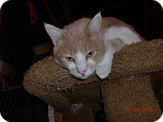 American Shorthair Cat for adoption in San Luis Obispo, California - Chance