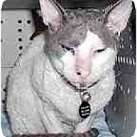 Adopt A Pet :: Kitt Katt - Scottsdale, AZ