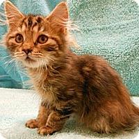 Adopt A Pet :: Dawn - Reston, VA
