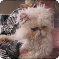 Adopt A Pet :: Lambchop - Davis, CA