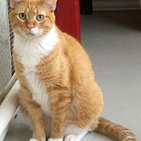 Domestic Shorthair Cat for adoption in St Louis, Missouri - Sunny