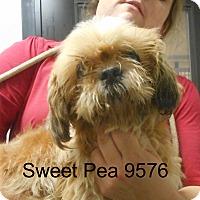 Adopt A Pet :: Sweet Pea - baltimore, MD