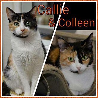 Domestic Shorthair Cat for adoption in Atlanta, Georgia - Callie 14218