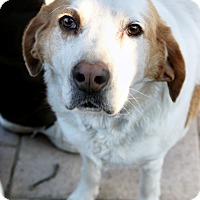 Adopt A Pet :: Wilfred - Richmond, VA