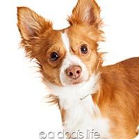 Adopt A Pet :: Trevor - Tempe, AZ