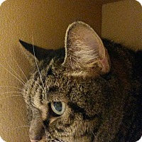 Adopt A Pet :: Stripey - Salem, NH