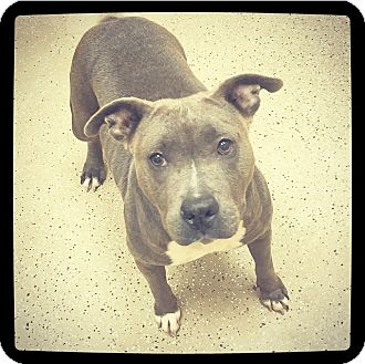 American Pit Bull Terrier Mix Dog for adoption in Grand Bay, Alabama - Lily *COURTESY LISTING*