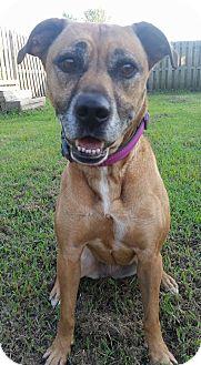 Labrador Retriever/Boxer Mix Dog for adoption in Pittsboro, North Carolina - Sandy