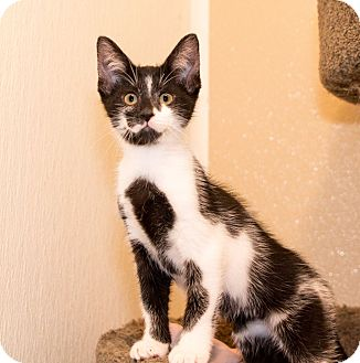 Domestic Shorthair Kitten for adoption in Seville, Ohio - Gino