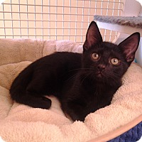 Domestic Shorthair Kitten for adoption in Richmond, Virginia - Twister