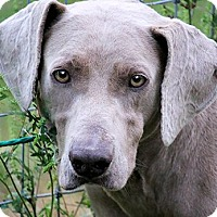 Adopt A Pet :: ASH(THE PUP OF A LIFETIME!!) - Wakefield, RI