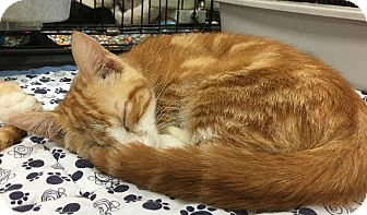 Domestic Shorthair Cat for adoption in Spring, Texas - Templeton