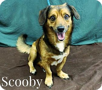 Hound (Unknown Type) Mix Dog for adoption in Newport, Kentucky - Scooby