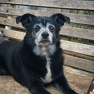 Terrier (Unknown Type, Small)/Pomeranian Mix Dog for adoption in San Diego, California - Missy