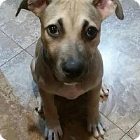 Adopt A Pet :: Joshua - Oakland Park, FL