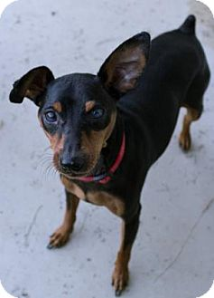 Miniature Pinscher Dog for adoption in Fairfax, Virginia - Jacky