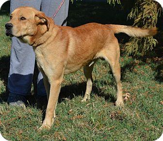 Labrador Retriever/Hound (Unknown Type) Mix Dog for adoption in Quitman, Texas - HANK