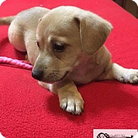Shepherd (Unknown Type) Mix Puppy for adoption in DeForest, Wisconsin - Peace
