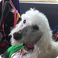Adopt A Pet :: Tsezar - Fort Atkinson, WI