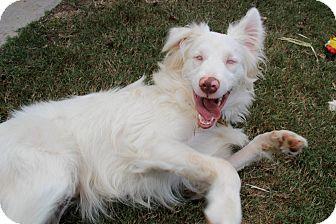 Australian Shepherd Mix Dog for adoption in Marietta, Georgia - Zonder