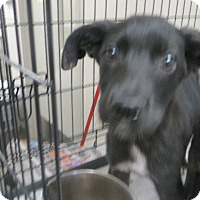 Husky Mix Puppy for adoption in Murphysboro, Illinois - Levi