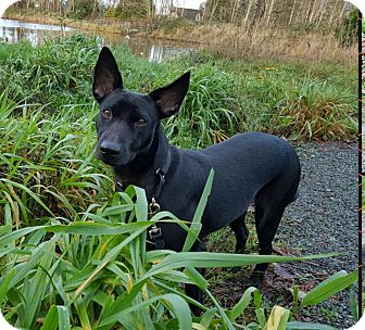 Dachshund Mix Dog for adoption in Surrey, British Columbia - Holly