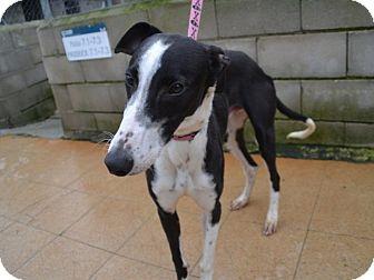 Greyhound Mix Dog for adoption in Indianapolis, Indiana - Saro