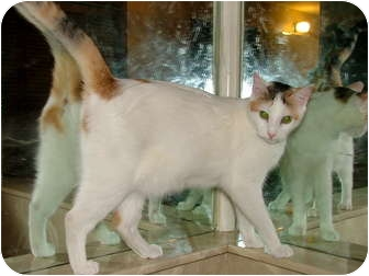 Domestic Shorthair Cat for adoption in Chattanooga, Tennessee - Opal