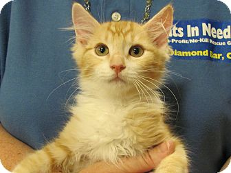 Domestic Mediumhair Kitten for adoption in Diamond Bar, California - KING LOUIE
