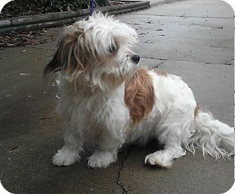 Havanese Mix Dog for adoption in Alexandria, Virginia - Kobuk
