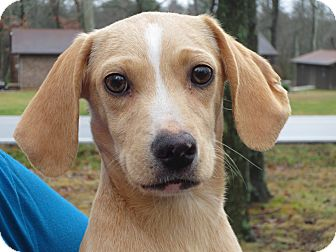 Dachshund/Terrier (Unknown Type, Small) Mix Puppy for adoption in Harrisonburg, Virginia - Butterbean