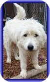 Great Pyrenees/Irish Wolfhound Mix Dog for adoption in Allentown, Pennsylvania - Fuzz