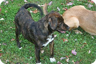 Labrador Retriever/Plott Hound Mix Dog for adoption in Morgantown, West Virginia - Kerry
