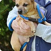 Adopt A Pet :: Petito - Springfield, IL