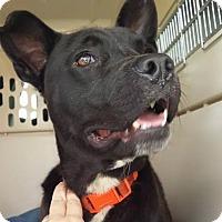 Adopt A Pet :: Mulligan - Plainfield, IL