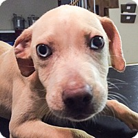 Adopt A Pet :: Moon Pie - PENDING, in Maine - kennebunkport, ME