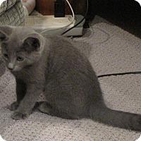 Adopt A Pet :: Merlin - bloomfield, NJ