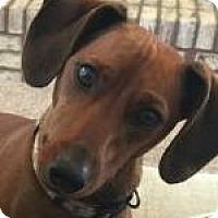 Adopt A Pet :: ARCHER - Portland, OR