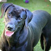 Adopt A Pet :: Sugar - Ft. Lauderdale, FL