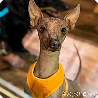 Adopt A Pet :: Chirro - Henderson, NV