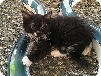 Maine Coon Kitten for adoption in Mount Laurel, New Jersey - Lovelace