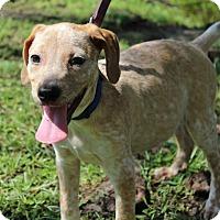 Adopt A Pet :: Laverne - SOUTHINGTON, CT