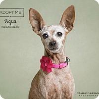 Adopt A Pet :: Aqua - Chandler, AZ