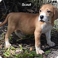 Adopt A Pet :: Scout - Lake Pansoffkee, FL