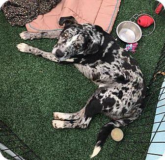 Catahoula Leopard Dog/Retriever (Unknown Type) Mix Dog for adoption in Lincolnton, North Carolina - Tank