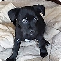 Adopt A Pet :: Rolo - Schaumburg, IL