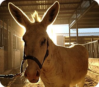 Donkey/Mule/Burro/Hinny Mix for adoption in Newcastle, California - Jack