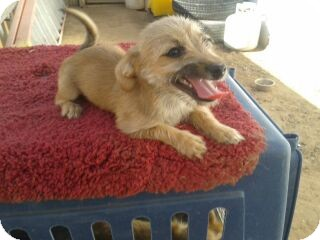 Terrier (Unknown Type, Small) Mix Puppy for adoption in Phoenix, Arizona - Sophie